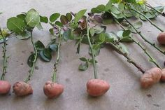 Cuttings of roses in potatoes. part Rose Cuttings in potatoes. Part 1 Cuttings of rose Veg Garden, Edible Garden, Garden Plants, Hydroponic Gardening, Organic Gardening, Gardening Blogs, Roses In Potatoes, Grow Potatoes In Container, Compost