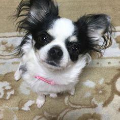 #chihuahua#chihuahuas #chihuahualove #チワワ#ちわわ #cute#かわいい#tiny#ロングコートチワワ#ロンチー#愛犬#溺愛#おすすめ#おなかすいた #ブラックアンドホワイトタン #ブラックタンアンドホワイト #あそぼ#おはよう#goodmorning #dog#犬#model#モデル