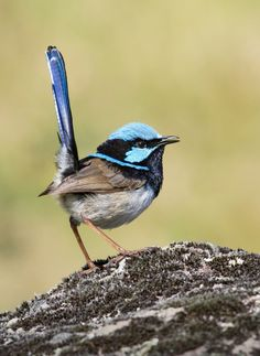 fairy-wren:    Superb fairy wren   (Photo by Duade Paton)