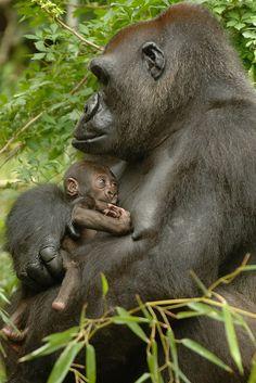 #gorilla with #newborn #baby