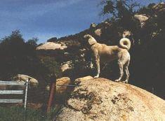 Training Anatolian Shepherd Dogs for Poultry Guarding [Picture of: Maranda's Gezme of Shahbazin]