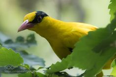 Chinese oriole by morez #animals #animal #pet #pets #animales #animallovers #photooftheday #amazing #picoftheday