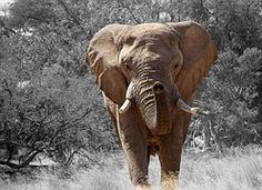 Free photo: Africa, African, Animal, Big, Brown - Free Image on Pixabay - 165200