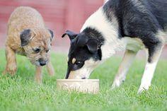 Useimmat koirat rakastavat raakaruokaa.