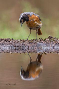 Common redstart (Phoenicurus phoenicurus) by Arno van Zon on 500px