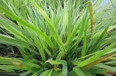 Hakonechloa macra | /RHS Gardening