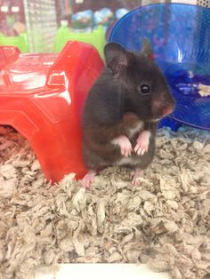 Fancy Black Bear Hamster