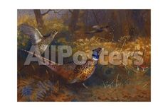 A Cock and Hen Pheasant at the Edge of a Wood, 1897 by Archibald Thorburn Landscapes Giclee Print - 61 x 41 cm