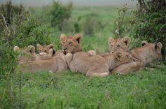 🔍 Tan Lionesses on Green Field during Daytime - get this free picture at Avopix.com    🆕 https://avopix.com/photo/45141-tan-lionesses-on-green-field-during-daytime    #lion #big cat #feline #predator #animal #avopix #free #photos #public #domain