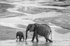 Verkauft als Leinwandbild 120x80 cm. Danke dem Käufer, er hat Geschmack.  Elefanten in schwarzweiß Poster von Ingo Gerlach