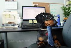 Crusoe Dachshund at the Office