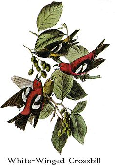 Audubon's Birds of America -- White-Winged Crossbill aka White-winged Crossbill