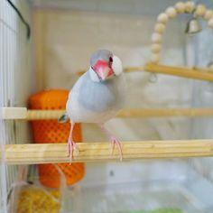 久しぶりの登場ピッピ相変わらずヤンチャです☺️ #文鳥 #シルバー文鳥 #文鳥生活 #手乗り文鳥 #文鳥無しでは生きられない #ふわもこ部