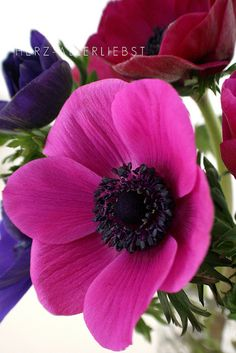 Anemonen by herz-allerliebst, via Flickr