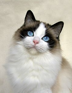 Ragdoll cat-looks like our Sabrina Lou. Sweet breed, but they shed a ton! No matter how much we sweep there is always a tumbleweed of fur flying around.