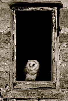 Barn owl looking out the window