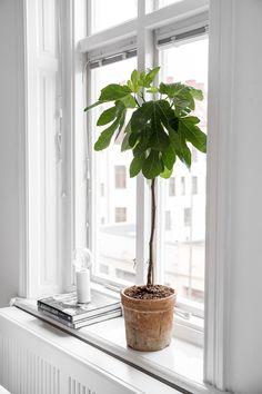 Fig tree in windowsill