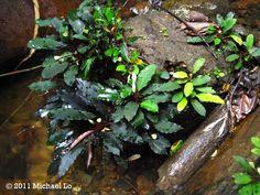Jungle Mike's secret gardens: Bucephalandra from remote area of southern Sarawak (Sept. 2011)
