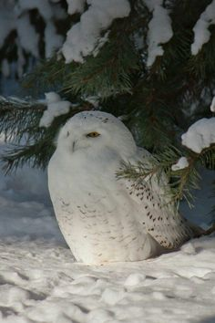 snow owl Saw one of these last week sitting on a telephone wire. Have never seen an owl in the wild. Nature Animals, Animals And Pets, Cute Animals, Wild Animals, Animals In Snow, Baby Animals, Beautiful Owl, Animals Beautiful, Simply Beautiful