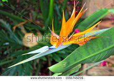 Strelitzia reginae Bird of Paradise flower, close up
