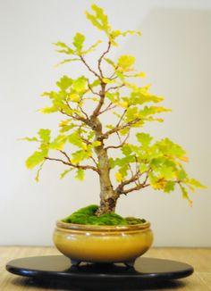 Shohin English Oak, 12 years from seed.