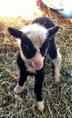 Someday I will have a lamb and goat.