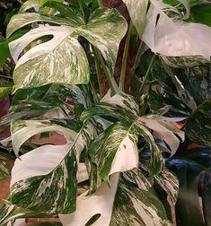 무늬 몬스테라 Monstera variegata : PLANT ODD
