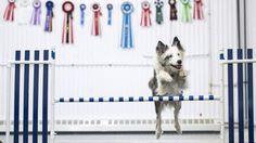 Abbandonato perché sordo, cane diventa campione di agility