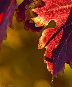 Love the warm, rich, timeless jewel tones of this autumn leaf close-up. #autumn #leaves #fall #nature #photography #grapes #vineyard #landscape #beautiful