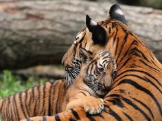 Mother Tigress bathes her baby