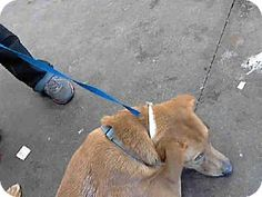 Mesa, AZ - Labrador Retriever/German Shepherd Dog Mix. Meet REESES, a dog for adoption. http://www.adoptapet.com/pet/11451353-mesa-arizona-labrador-retriever-mix