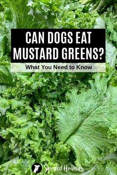 Can dogs eat mustard? Keep your dog safe and find out what you need to know about dogs eating prepared mustard, mustard seeds, mustard greens, and wild mustard. #dogsafety #doghealth #dogs #doglovers #doginformation #dogownertips #pethealth #mustard Mustard Oil, Mustard Greens, Mustard Seed, Dog Eating, Eating Raw, Types Of Mustard, Healthy Fiber, Can Dogs Eat, Raw Vegetables