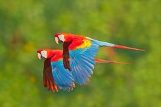 Parrots Flying In The Rainforest Beautiful Birds, Animals Beautiful, Amazon Birds, Rainforest Birds, Parrot Flying, Giraffe Pictures, Animal Pictures, Toucan, Mundo Animal