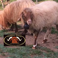 www.karrasfarm.com  New and Improved Awassi dairy sheep . USA, Greece and Cyprus.