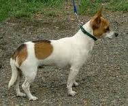 Image result for Mini foxie doxie