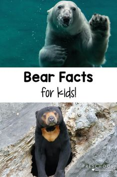 Kids love learning about animals! Enjoy these bear facts that are perfect for preschool, kindergarten, and older kids, too. There are over 40 different fascinating facts about all kinds of bears, including polar bears, grizzly bears, panda bears, and more! Bear Facts For Kids, Animal Facts For Kids, Fun Facts About Animals, Large Animals, Zoo Animals, Wild Animals, Preschool Kindergarten, Preschool Teachers, Preschool Science