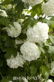 Eastern Snowball---Masses of pure white, snowball-like flower clusters make a showy display. Bright green leaves have a purplish-red fall coloring. Spectacular landscape specimen. Deciduous.Average landscape size:Moderate grower to 12 ft. tall, 10 ft. wide, larger with age.