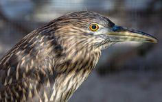 Night Heron at the Suncoast Seabird Sanctuary