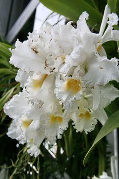 "Cattleya Pernell George Barnett ""Yankee Clipper"" (3072486817) - Orchidaceae"