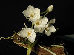 Andy's Orchids - Orchid Species - Amesiella (Angraecum) - philippinensis