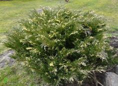 Jałowiec sabiński Variegata Krzew zwarty, dorasta do 0,5 m wys. i 1 m szer. przyrastając ok. 8 cm rocznie. Posiada liczne biało-kremowe przebarwienia pędów. Dobrze rośnie na stanowiskach słonecznych lub półcienistych. Polecany do małych ogrodów i kompozycji w pojemnikach. Ceniony z powodu oryginalnego, pstrego zabarwienia.