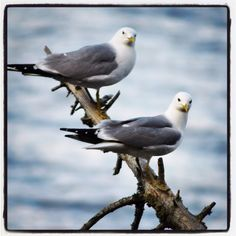 Mrs and Mr common gull. Gull, Bird, Animals, Animales, Animaux, Birds, Animal, Animais