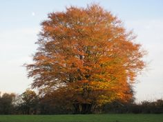 Beech tree in autumn colours in the English countryside, by Countrymove.co.uk