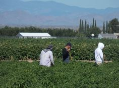 sworkers weeding the Hatch Chile Hatch New Mexico, Weeding, Chile, Green, Nature, Travel, Grass, Naturaleza, Viajes