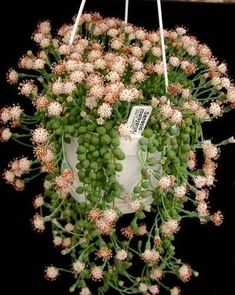 string of pearls in bloom