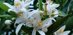 Flor de Laranjeira: benefícios e propriedades! - A flor de laranjeira, também conhecida como flor de laranja-amarga, é uma planta medicinal que cresce na laranjeira, no limoeiro e nacidreira, sendo caracterizada pela cor branca e pelo suave aroma. Muito apreciada na culinária e na medicina devido às suas propriedades terapêuticas, a flor de la... - http://www.apaixaodecristo.com.br/ecoblog/2016/04/23/flor-de-laranjeira-beneficios-e-propriedades/