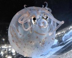 The rarely photographed piglet squid was captured on film at a rescue aquarium.  Its tentacles and skin patterns have formed an adorable shape of a small smiling face with what looks like curly locks on his head.  The piglet squid (Helicocranchia pfefferi), named because of its rotund shape, is normally found in the darkness more than 320 feet (100m) below the surface of the ocean.  Measuring just 3.9cm (10cm) in length