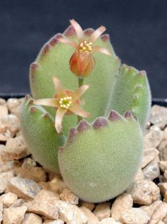 "Coltyledon Tomentosa ""Bear's Paw"" It's so pretty and adorable, I love mine! ✔️"