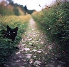 Black Cat in a Field
