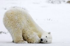 Polar bear, along with the Kodiak bear, is one of the largest of the Ursidae species. If climate change continues to get worse, we will see this species become extinct from the wild